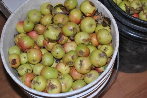 The small bitter apples, but great for apple cider